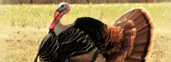 Attention Turkey Hunters!